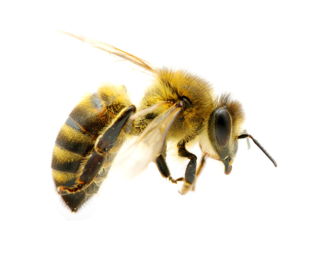 Scratchy, Sore Throat? The Bees Have a Solution