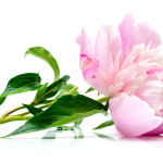Peony root relieves menstrual cramps